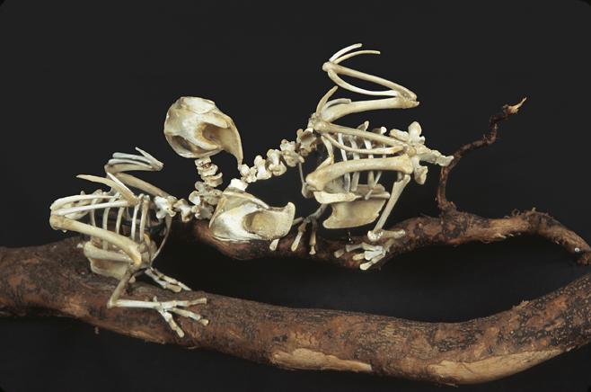 Carolina Parakeets skeleton sculpture by Christy Rupp
